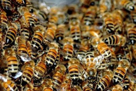 Resultado de imagem para ilustrativa para ataque de abelhas