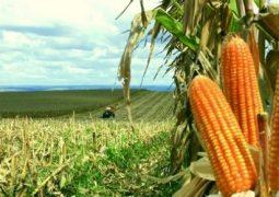 Preços do milho seguem em queda no país, aponta Scot Consultoria