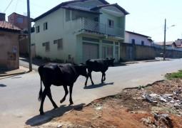 Fazendeiros: Deixar seus animais soltos em perímetro urbano ou rodovias é crime