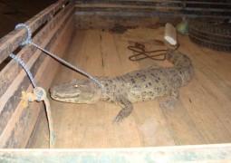Jacaré é encotrado em casa de Senhora em Lagoa Grande