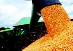 Safra recorde nos Estados Unidos reduz preço do milho no mercado interno