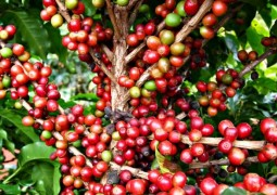 Relatório com abrangência mundial analisa tendências do agronegócio café