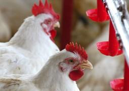 Carne de frango tem a melhor competitividade em 5 anos