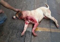 """Após laudo veterinário, cão """"Preguiçoso"""" teria morrido com tiros de chumbinho e não com golpe de facada"""