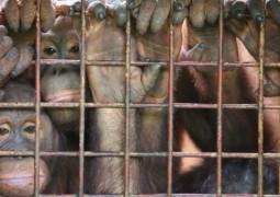 Fêmeas de orangotango estão sendo usadas como escravas sexuais e prostitutas na Ásia