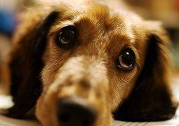 Cães entendem palavras e entonações humanas, revela estudo