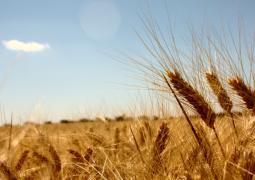 Importação de trigo dos EUA deve ficar próxima de 500 mil toneladas, diz Abitrigo