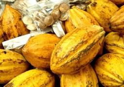 Associação estima processamento de cacau menor no Brasil e aumento da importação