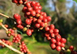 Café: Valores de arábica e robusta sobem no Brasil