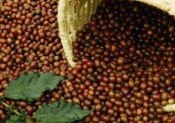 Cafeicultura brasileira é modelo de sustentabilidade