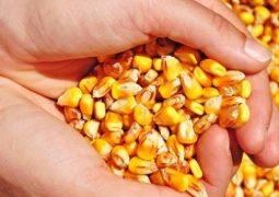 Milho inicia a semana com leves quedas em Chicago com foco na colheita da grande safra americana
