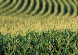 Milho: Liquidez segue baixa e Indicador Cepea, em queda