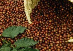 Safra de café no Brasil em 2016 é estimada em 54,9 mi de sacas, indica pesquisa da Reuters