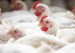 Frango/Cepea: Carne de frango se desvaloriza em dezembro