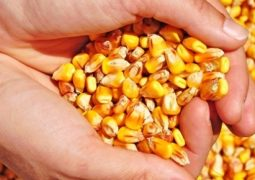 Milho reforça presença do país no mercado mundial de grãos