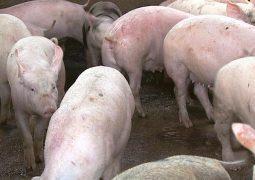 Abate de suínos e produção de ovos são recordes no 3º trimestre
