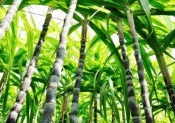 Nova safra de cana do centro-sul deve crescer com clima favorável, diz Datagro