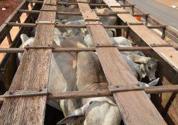 Ladrões de gado procurados em toda a região são presos após assaltarem fazenda no município de Lagoa Formosa