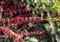 Série Especial Produção Cafeeira Certificada – Parte 3: Resultados Agronômicos Super Greensand no cultivo do café