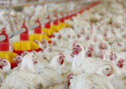 Exportação de carne de frango tem 1º saldo positivo desde a Carne Fraca
