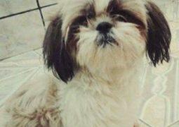Cachorrinha desaparece em São Gotardo e sua dona pede ajuda para encontrá-la