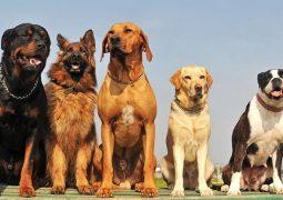 Cachorros podem ter Alzheimer? Saiba mais dessa doença que também afeta aos pets