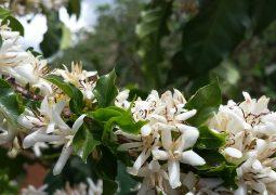 Café: Temperaturas elevadas ocasionam o abortamento da florada em Carmo do Paranaíba