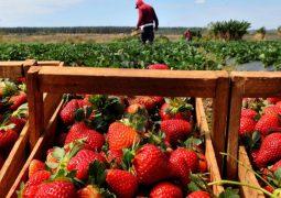 Ácaros predadores para o controle biológico nas culturas de morango e flores reduze em até 80% uso de acaricidas
