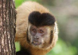 Macacos, uma vítima como nós, na luta contra a febre amarela!