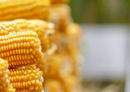 Milho: Redução dos investimentos deve resultar em safrinha menor em 2018