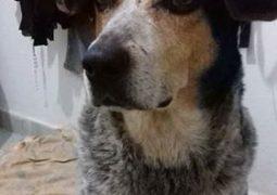 """""""Vaquinha"""": Cadela mais conhecida da cidade e que adorava marcar presença em eventos festivos na praça, morre em São Gotardo"""