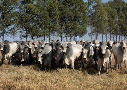 Bezerro de qualidade só é possível com touro provado