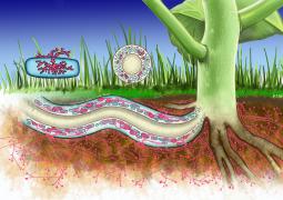 Estudo mostra que Cloreto de Potássio prejudica relação simbiótica entre fungos e raízes de plantas
