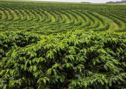 Cultivo de café com K Forte® diminui concentrações de cloreto