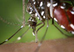 Será? Música eletrônica reduz picadas e reprodução do mosquito Aedes aegypti, aponta estudo