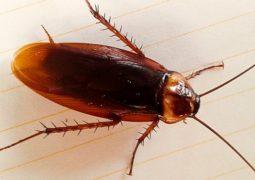 """Filme """"Joe e as baratas"""" estava certo? Baratas estão se transformando em super-inseto impossível de matar"""