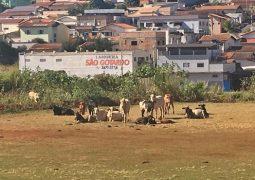 Após diversos avisos, fiscalização municipal apreende animais que estavam no perímetro urbano de São Gotardo