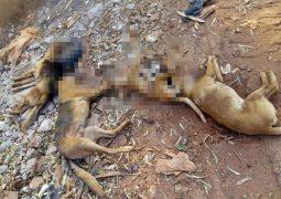 CENAS FORTES: Cachorros morrem após serem envenenados em Matutina-MG