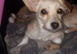 Cachorrinha desaparece em São Gotardo e família oferece recompensa para quem encontrá-la!