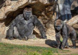 Gorilas de zoológico de San Diego na Califórnia testam positivo para a Covid-19